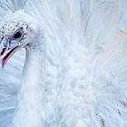 white peacock by Sajeev C Pillai