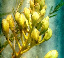 Bird of Paradise Bush by Linda Lees