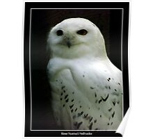 Snowy Owl Poster
