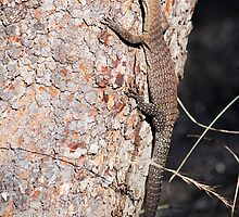 VARANIDAE - Varanus tristis  by Carmel Williams