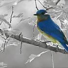 Just a Bluebird by Caren