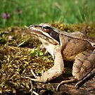 Agile Frog ( Rana dalmatina) by Istvan Natart