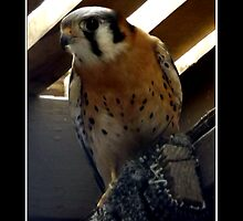American Kestrel by Rose Santuci-Sofranko