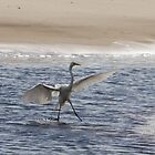 Egret Landing on Bribie Island by Stephen Quennell