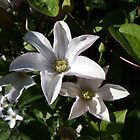 White Clematis  by Deb Vincent