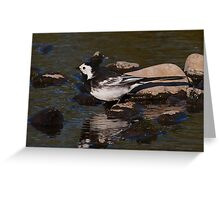 Pied Wagtail Greeting Card