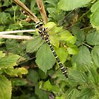Golden Ringed Dragonfly by DEB VINCENT