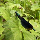 Banded Demoiselle Damselfly by Deb Vincent