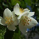 Bright White Philadelphus by Babz Runcie
