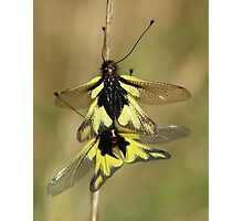 Owlflies Photographic Print