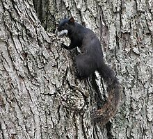 The Black Squirrel  by April May Maple