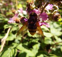 Belted Hoverfly by Deb Vincent
