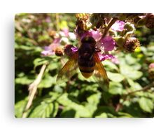 Belted Hoverfly Canvas Print