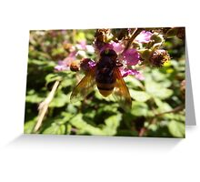Belted Hoverfly Greeting Card