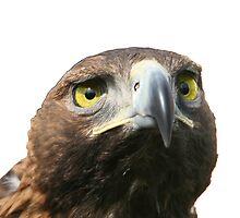 golden eagle by Medeu