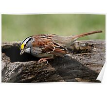 Anybody Home? / White Throated Sparrow Poster
