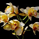 Yellow and white flowers on black by Stephen Frost