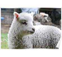Baby Sheep Poster