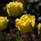Tulips by Jennifer Bradford