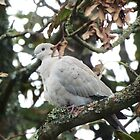 Collared Dove by DEB VINCENT