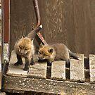 Fox Kitt's 2 by John  Sperry