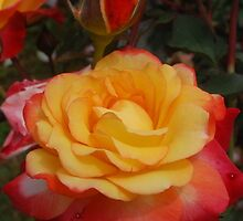 One yellow rose... by JackieSmith