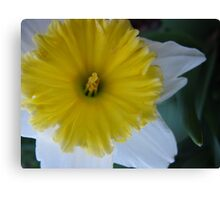 Fresh Daffodil Canvas Print