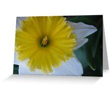 Fresh Daffodil Greeting Card