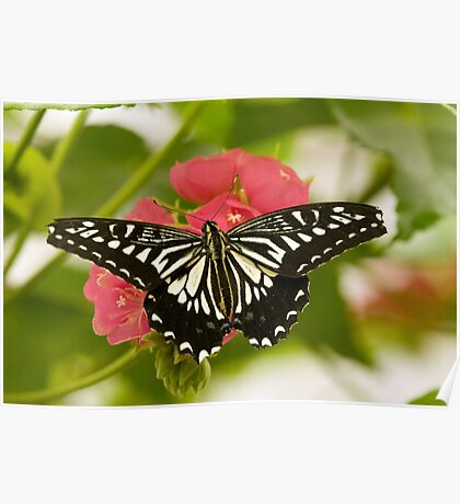 Chinese yellow swallowtail Poster