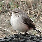 Rock Wren - Salpinctes obsoletus by Barb Miller