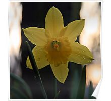 Daffodil After an Evening Shower Poster