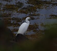 Little Egret by DEB VINCENT