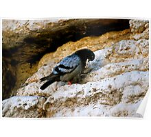 Bird on the Wailing Wall in Jerusalem Poster