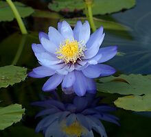 Blue water lily reflection by Margaret Grittner