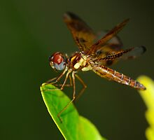 Eastern Amberwing Perched by Tom Dunkerton