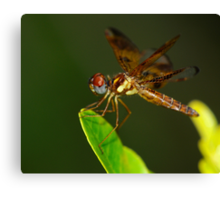 Eastern Amberwing Perched Canvas Print