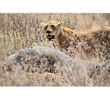 Lion with Buffalo Kill, Serengeti, Tanzania  Photographic Print