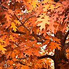 Yackandandah Autumn Series ~ Isaac Izaac's Red Oak by Jane Keats