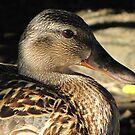 Foxy Female Mallard by Gloria Abbey