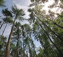 Pine Trees - Hitch Wood, Hitchin, Hertfordshire by MoGeoPhoto