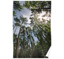 Pine Trees - Hitch Wood, Hitchin, Hertfordshire Poster