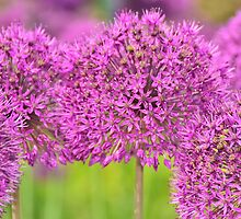Alium - Purple Sensation by Steve