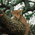 Leopard / Serengeti National Park  by Dean Cunningham