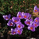 Crocus by Colin12