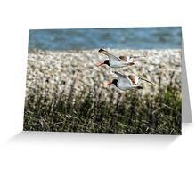 Nesting American Oystercatchers Greeting Card