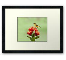 Another little sweety - sunbird in my Etty Bay garden. Framed Print