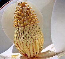Magnolia stamen by pistol22