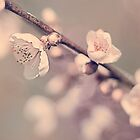 Blooming Apricot.2 by greenzinnia