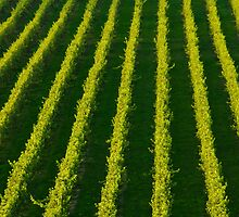 The Mission Vineyard by Werner Padarin