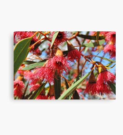 Flowers of a Red Flowering Gum Canvas Print
